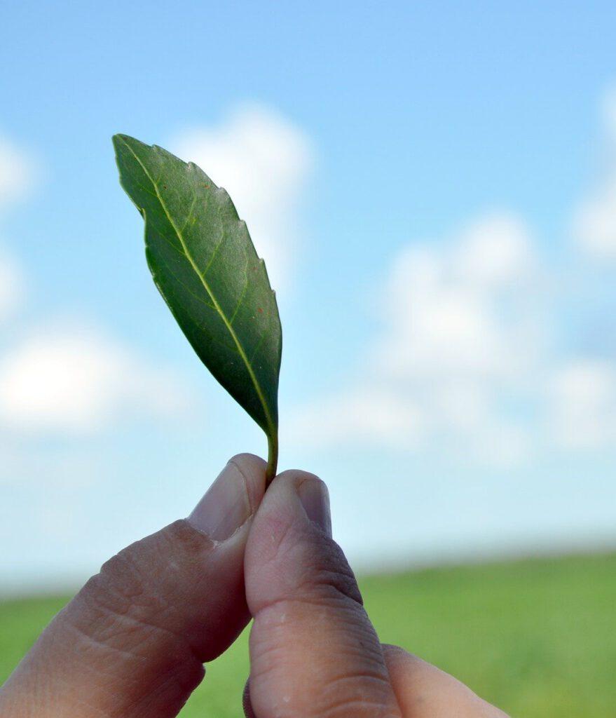 Mate Pflanze für die Herstellung